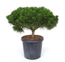 Pinus Nigra Brepo 35x95cm