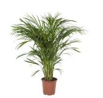 Areca Lutescens (chrysalidocarpus) 21x100cm