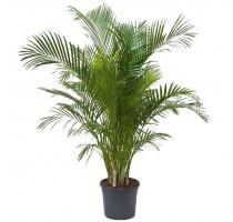 Areca Lutescens (chrysalidocarpus) 31x170cm