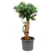 Araucaria Cunninghamii 45x140cm