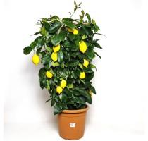 Citrus lemon 26x90cm