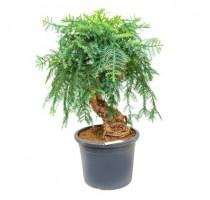 Araucaria Cunninghamii 40x120cm
