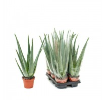 Aloe Vera 15x40cm
