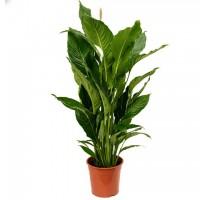 Spathiphyllum sweet sebastiano 24x100cm