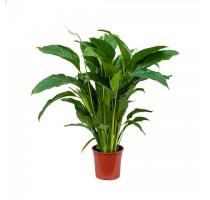 Spathiphyllum sweet lauretta 24x90cm