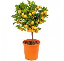 Citrus calamondin 21x70cm