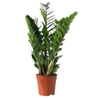 Zamioculcas zamiifolia 17x65cm