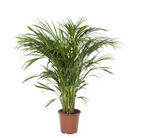 Areca Lutescens (chrysalidocarpus) 21x110cm