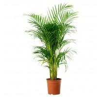 Areca Lutescens (chrysalidocarpus) 29x150cm