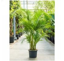 Areca Lutescens (chrysalidocarpus) 40x210cm