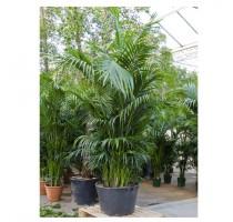 Kentia Howea Forsteriana 70x350cm