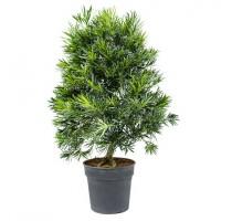 Podocarpus macrophyllus 30x100cm