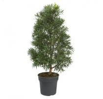 Podocarpus macrophyllus 34x120cm