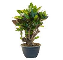 Croton Petra bonsai (codiaeum) 25x60cm