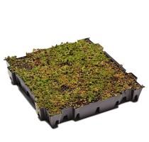 Sedum Tray Green 49x49cm