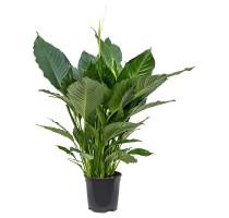 Spathiphyllum alfetta 24x90cm