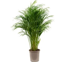Areca Lutescens (chrysalidocarpus) 24x120cm