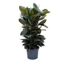 Ficus Elastica 31x120cm