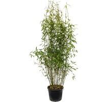 Bambus Fargesia murieliae jumbo 32x120cm