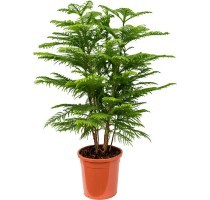 Araucaria Heterophylla 30x120cm
