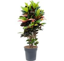 Croton Iceton (codiaeum) 29x100cm