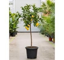 Citrus lemon 40x160cm