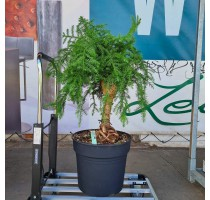 Araucaria Cunninghamii 34x95cm