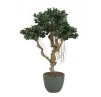 Ficus Panda 115cm