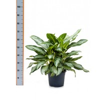 Aglaonema golden bay 26x50cm