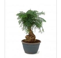 Araucaria Cunninghamii 29x70cm