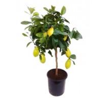Citrus lemon 22x75cm
