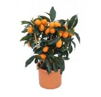 Citrus kumquat 15x40cm