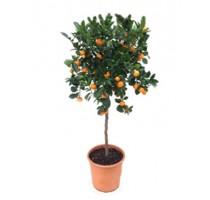 Citrus calamondin 30x130cm