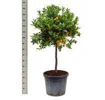 Citrus calamondin 35x140cm