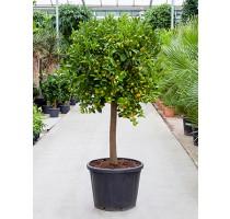 Citrus calamondin 50x190cm