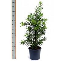 Podocarpus Macrophyllus 29x100cm