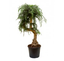 Araucaria Cunninghamii 35x135cm