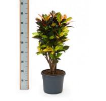 Croton Iceton (codiaeum) 26x75cm