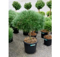 Pinus Nigra Brepo 36x100cm