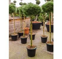 Pinus Nigra Brepo 38x190cm