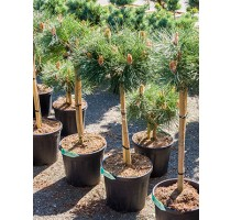 Pinus Nigra Brepo 29x100cm