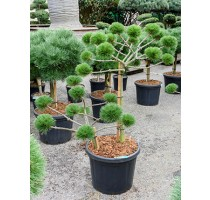 Pinus Nigra Brepo 45x140cm