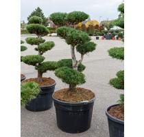 Pinus Cembra 65x175cm