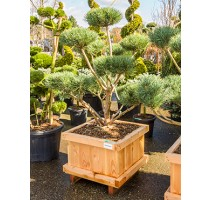 Pinus Sylvestris warereri 73x73x190cm
