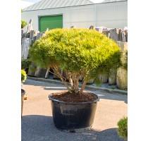 Pinus dens. tamoyosho compacta 95x190cm