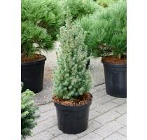 Picea glauca sanders blue 25x75cm