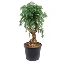 Araucaria Cunninghamii 35x100cm