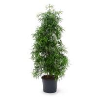 Podocarpus Gracilor 31x150cm