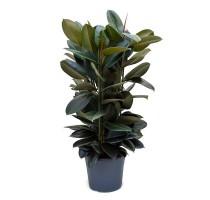Ficus Elastica 35x130cm
